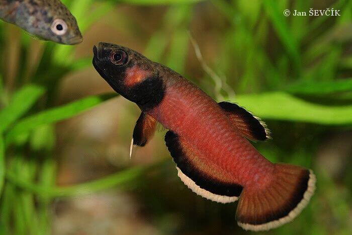 Betta fish Betta Albimarginata (ikan cupang)