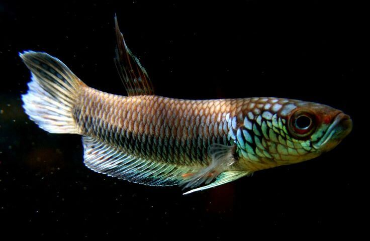 Betta fish Betta Bellica (ikan cupang)