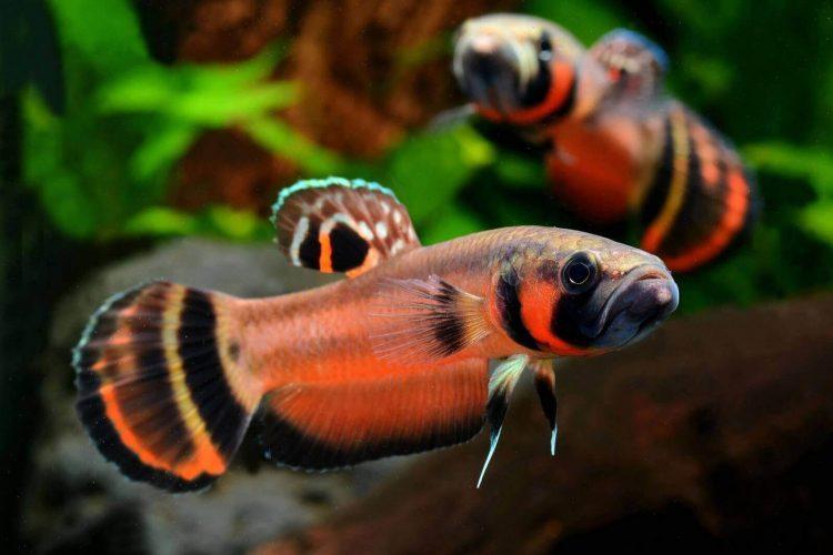 Betta fish Betta Macrostama Gambar