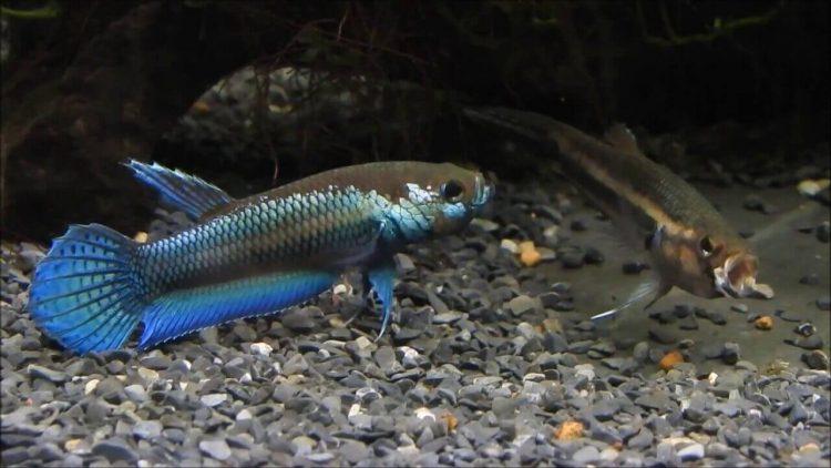 Betta fish Betta Unimaculata Gambar