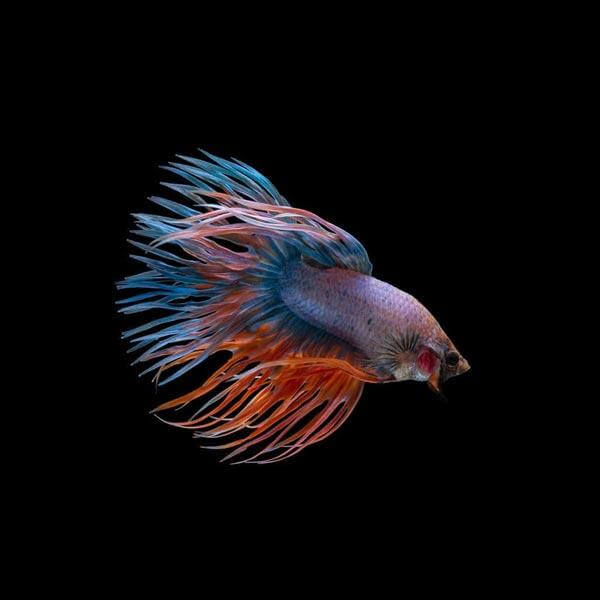 Betta fish Crowntail
