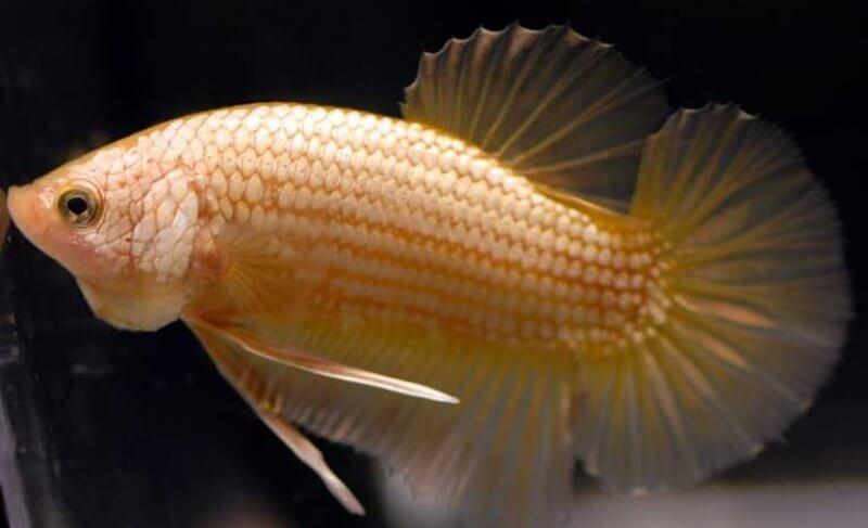 Betta fish HMPK