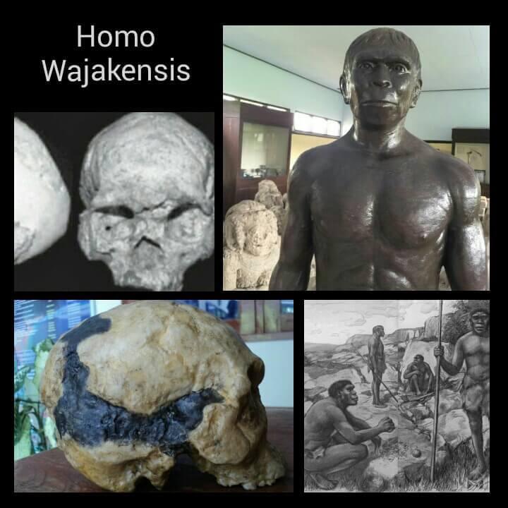 Manusia purba Homo Wajakensis