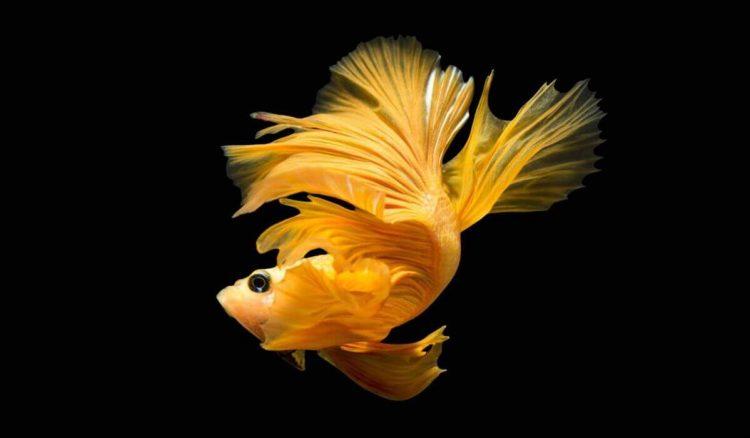 Wallpaper ikan cupang HD