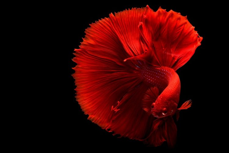 Gambar ikan cupang / betta fish WALLPAPER