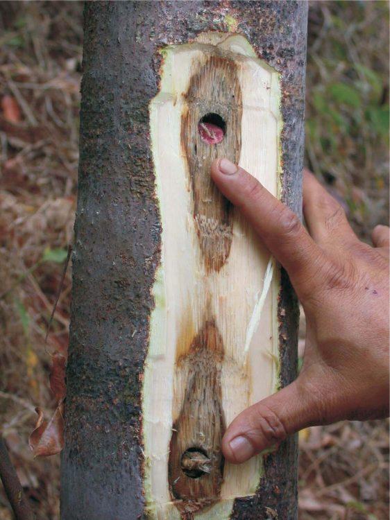 Suntikan kayu gaharu